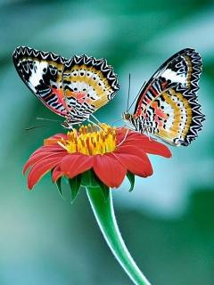 Картинка с бабочками в формате 240x320 для рабочих столов n95